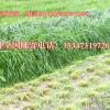 黑裘皮羊养殖的牧草种植甘肃种草养羊