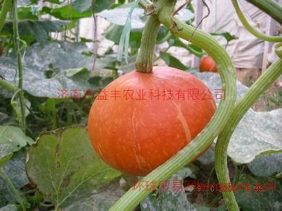 观赏实用红板栗南瓜种子