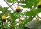 鸳鸯梨南瓜种子 玩具观赏南瓜种子
