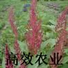 雪樱子营养价值的功效 保健蔬菜种子 雪樱子种子