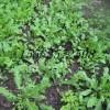荠菜的营养价值 荠菜种子 保健蔬菜种子