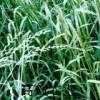 高效牧草之王 新采收黑麦草种子发芽率高