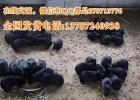 农村养殖黑豚的技术母黑豚价格