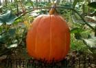 美国巨型特大南瓜种子