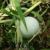 鸡蛋葫芦种子 观赏葫芦种子新品种