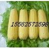 超甜水果玉米种子