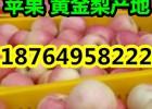 山东嘎啦美八苹果批发