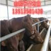 山西忻州西门塔尔牛价格 首付30%出栏结尾款