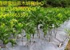 三红蜜柚的种植技术|三红蜜柚苗种植管理