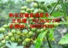 汉阴大红袍花椒苗与青花椒苗培育方法的区别