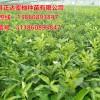 三红蜜柚培育者—平和县正达蜜柚种苗有限公司