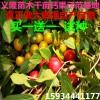 钙果苗 钙果树苗价格
