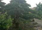 北海罗汉松苗木盆景地景金罗汉网