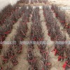 适合南方种植的枣树苗 中秋酥脆枣树苗