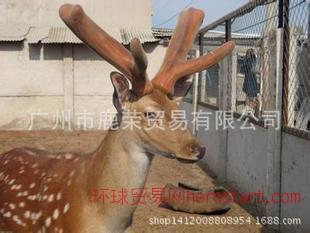 特种养殖,大量批发纯正东北梅花鹿公鹿
