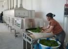 微波薰衣草烘干机/花茶干燥设备