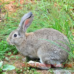 求购家兔 宠物兔 优质家兔、宠物兔 小型家兔