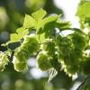啤酒花提取物总黄酮环球贸易网