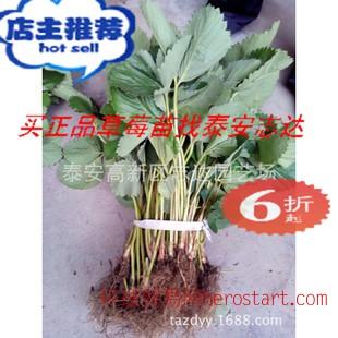 草莓苗新明星草莓苗高耐储运草莓苗全国适应种植草莓苗四川
