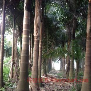 福建供应常绿大王椰子出售 王棕树 文笔树 绿化