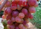 昭平红葡萄苗 昭平红葡萄苗价格