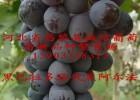 黑阿尔法葡萄苗 黑阿尔法葡萄苗价格