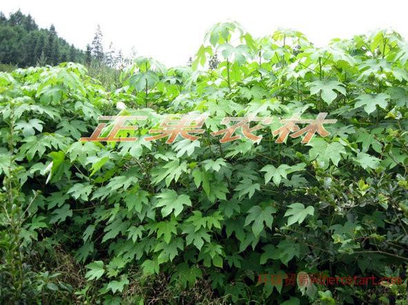 千年桐种子苗木