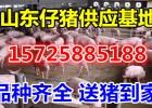 山东仔猪养殖基地品种优良批发价格便宜