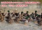翡翠鸭种鸭全国发货
