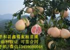 福建平和红心蜜柚|三红蜜柚苗价格|红皮红肉蜜柚苗批发