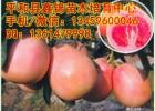三红蜜柚苗四川可以种植吗|红心蜜柚苗哪里买|早熟三红蜜柚苗