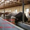 供山东农户肉牛养殖场育肥牛犊西门塔尔牛夏洛莱牛