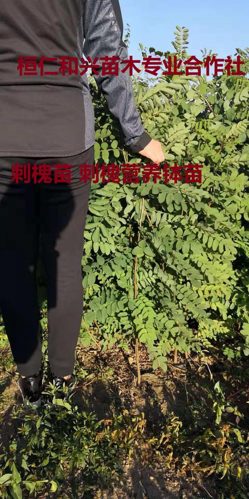 刺槐苗发货快_成活高_优选辽宁桓仁和兴苗木专业合作社
