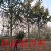 15公分银杏树15公分银杏树