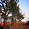 18公分银杏树18公分银杏树