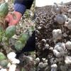 新疆优质棉花种子_棉花种子供应商_守信种业