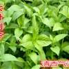 大叶荆芥种子四季播 食用野菜速生青菜 夏季耐热蔬菜阳台盆栽