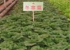 批发冬寒菜种子 也可凉拌 蔬菜种子 冬苋菜种子