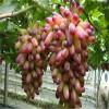 制酒葡萄树苗 状元红葡萄树苗报价