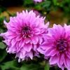 大丽花种苗、优质大丽花、大丽花专业种植技术