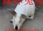 农村养殖杂交野兔成本低利润高