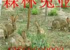 养殖杂交野兔利润可观农村创业好项目