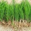 优质芦笋种子,芦笋种苗,芦笋种根