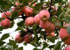 西部优质绿色农产品供应商-苹果供应