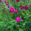 紫枝月季花小苗品种价格