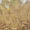 供应1米高紫藤小树苗价格