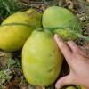 提供6-10公分大木瓜树价格表