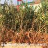 3公分杏树苗基地 3公分杏树基地直供
