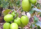 大量供应收益高台湾青枣苗种植