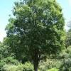 5公分榉树